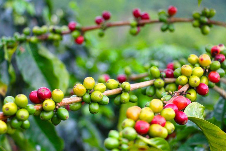 Coffee Hacienda in Sierra Nevada de Santa Marta, Colombia